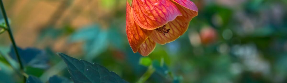 Abutilon hybridum is an edible flower for cakes