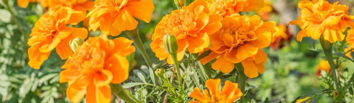 Calendula (Calendula officinalis) are edible flowers for cakes
