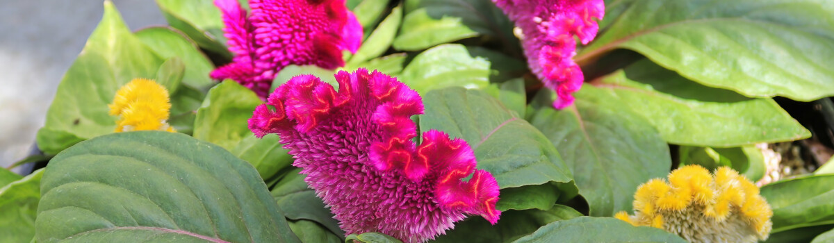 Celosia Coral Flowers and Celosia Feather Stick
