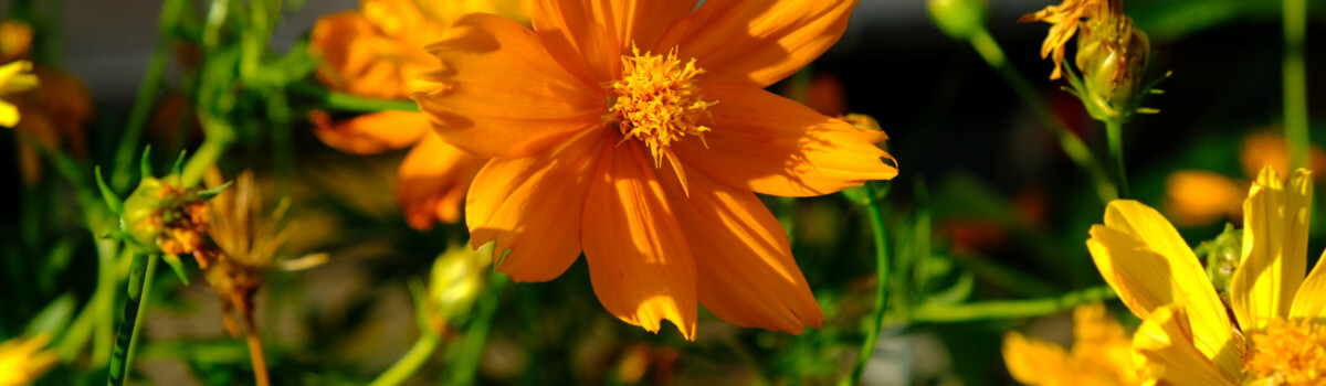 Cosmos sulphureus can be used in salads as well as cakes