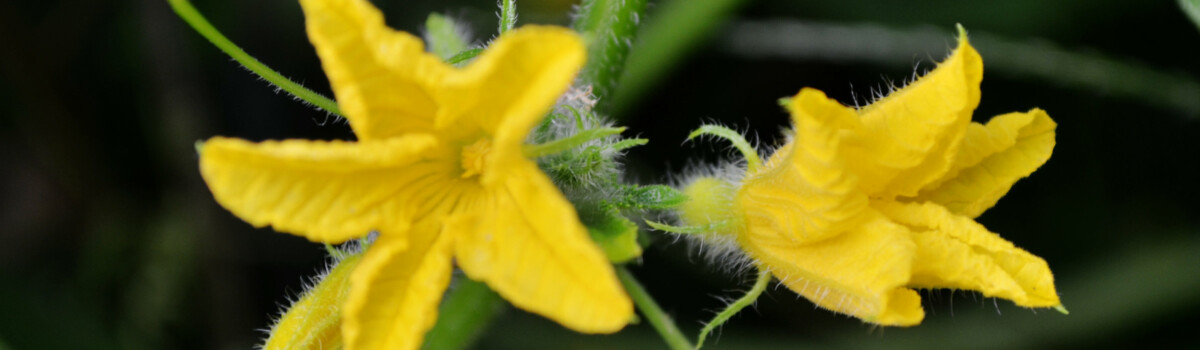 Cucumber flowers are edible for cakes
