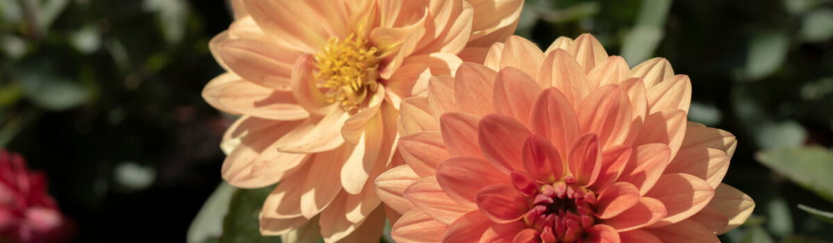 Dahlia flower can be used for cakes