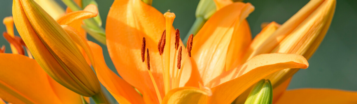 Daylily flowers are edible for cakes
