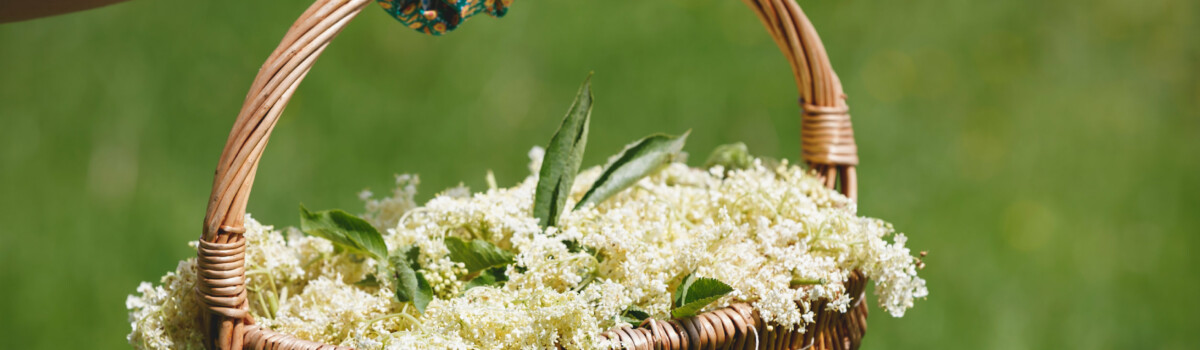 Woman freshly picked elderflowers