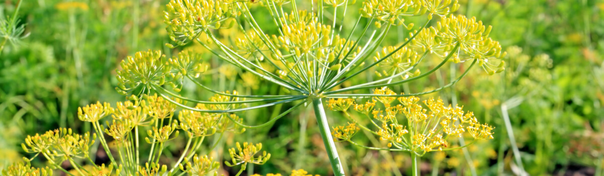 Fennel flowers are edible flowers for cakes