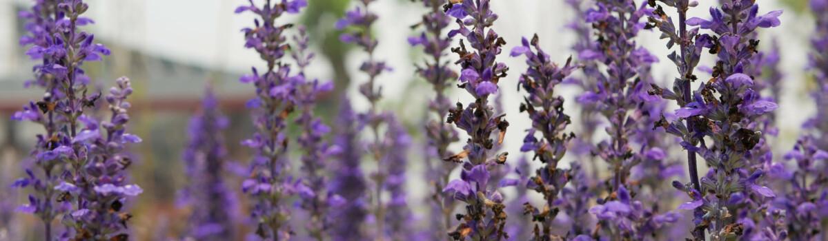Lavender is popular for sweet deserts.
