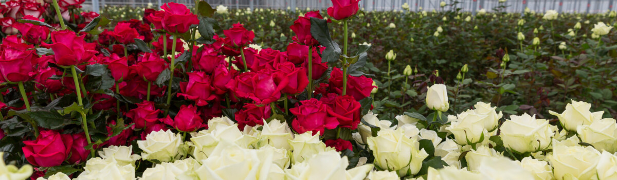 Rose flowers are often used for cake decoration and flavouring
