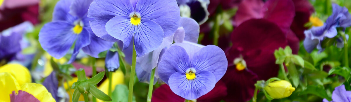 Selection of pansy flowers