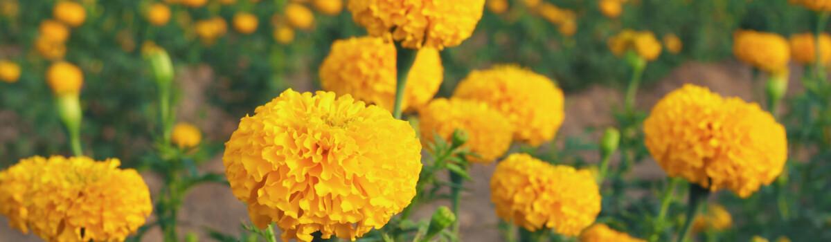 Tagete flowers growing in a field