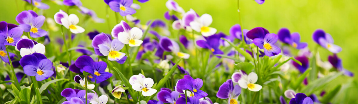 Violas are edible flowers for cakes.